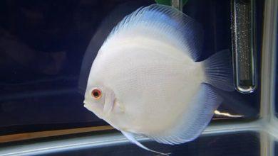 Hình ảnh cá Đĩa Bạch Ngọc