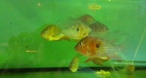 Hình ảnh cá Hải Hồ Đỏ