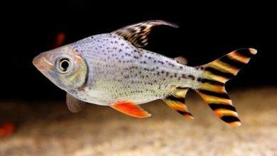 Hình ảnh cá Phi Phụng