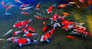 Hình ảnh hồ cá koi mới thi công
