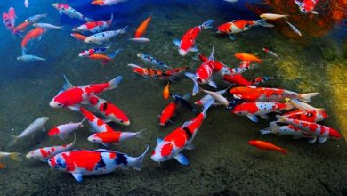 Photo of Hồ cá Koi mới thi công