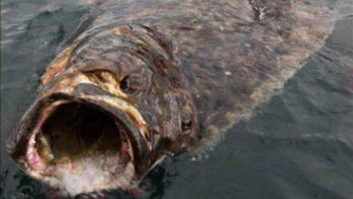 Photo of Câu được cá bơn khổng lồ hơn tạ