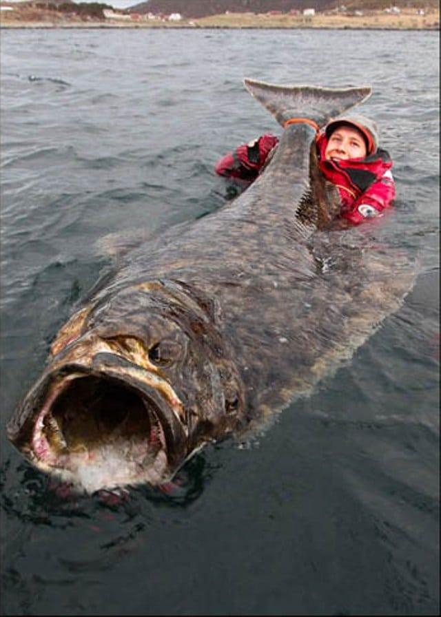 Hình ảnh cá Bơn khổng lồ