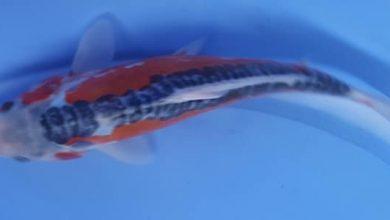Hình ảnh cá Koi Nhật size nhỏ