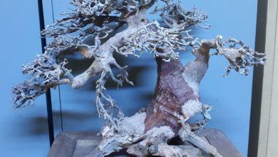 Photo of Lũa bonsai cho thủy sinh về ngày 28/07/2015