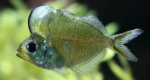 Hình ảnh cá Thủy Tinh Đầu Bướu