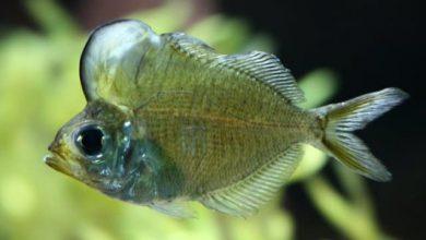 Photo of Cá Thủy Tinh Đầu Bướu – Humphead Glassfish- Parambassis sp