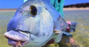 Hình ảnh cá Blue Bastard