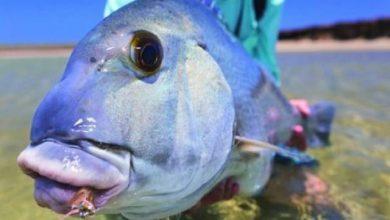 Photo of Kẻ Trụy Lạc Xanh – loài cá cưỡng hôn đối thủ