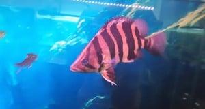 Hình ảnh cá Hổ Indo 30cm