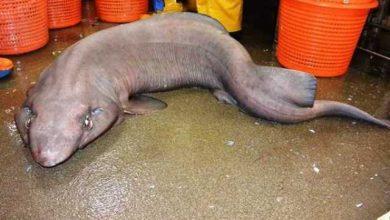 Photo of Bắt được cá mập cực hiếm tại biển Scottland