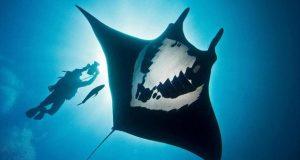 Hình ảnh cá đuối khổng lồ Manta