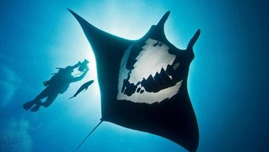 Photo of Nỗ lực bảo vệ loài cá Đuối manta khổng lồ