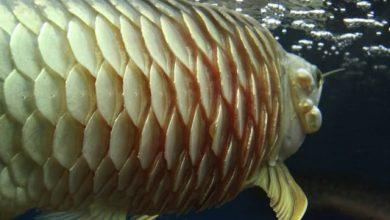 Hình ảnh minh họa cá rồng xù vẩy
