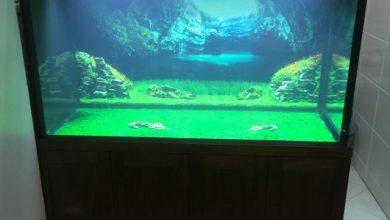 Photo of Bể cá rồng gỗ Óc Chó