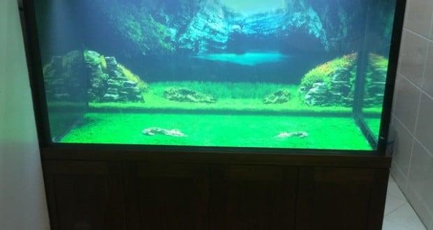 Hình ảnh bể cá rồng gỗ Óc Chó