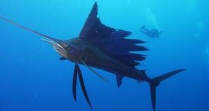 Hình ảnh 1 trong những loài cá bơi nhanh nhất đại dương