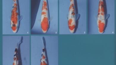 Photo of Kiến thức chơi koi: Cách chọn cá koi ginrin Sanke nhỏ
