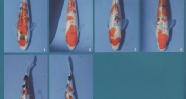Hình ảnh cá koi Ginrin Sanke