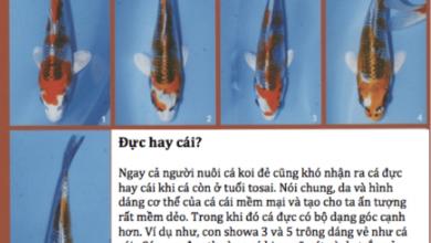 Hình ảnh cá koi Kujaku