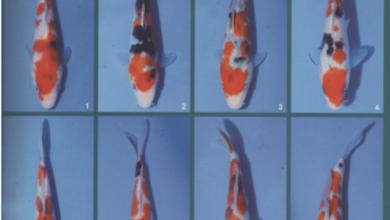 Photo of Kiến thức chơi Koi: chọn cá koi sanke nhỏ