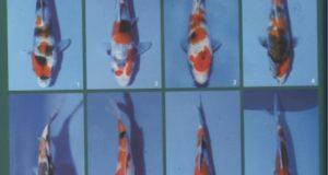 Hình ảnh cá koi Showa nhỏ