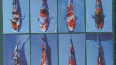 Photo of Kiến thức chơi Koi: Chọn cá koi showa nhỏ
