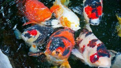 Hình ảnh cá Koi lên ăn vô cùng sinh động