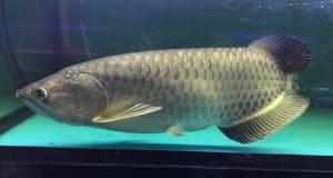 Hình ảnh cá rồng Kim Long Úc