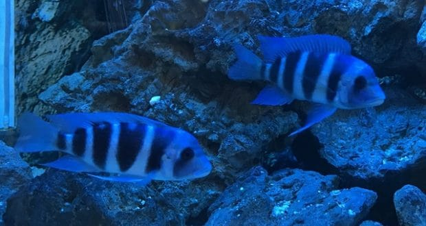 Hình ảnh Cá đầu bò xanh tại cá cảnh Thái Hoà