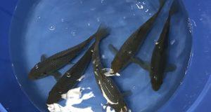 Hình ảnh Cá Koi Soragoi 20cm