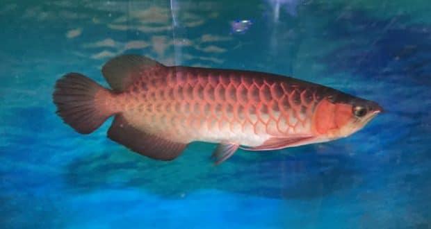 Hình ảnh Huyết Long 50cm tại cá cảnh Thái Hoà