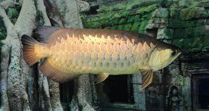 Hình ảnh cá rồng Highback