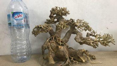 Photo of Lũa Bonsai cho bể thuỷ sinh 40 – 60