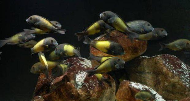 Hình ảnh cá ali Tropheus