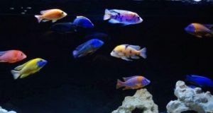 Hình ảnh Cá ali Thái Lan tuyển chọn