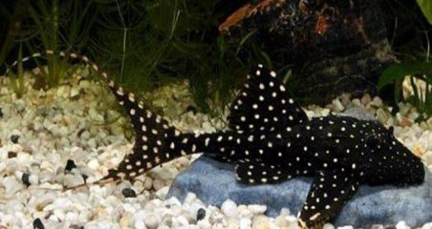 Hình ảnh cá Tỳ Bà Sao Đuôi Dài