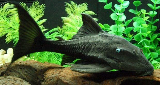Hình ảnh Cá Tỳ Bà Mắt Xanh
