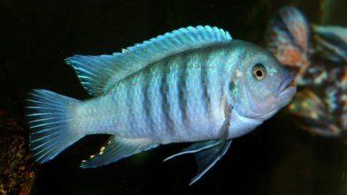 Photo of Cá Ali Ngựa Vằn Cobalt – Cobalt Blue Zebra Cichlid – Metriaclima callainos