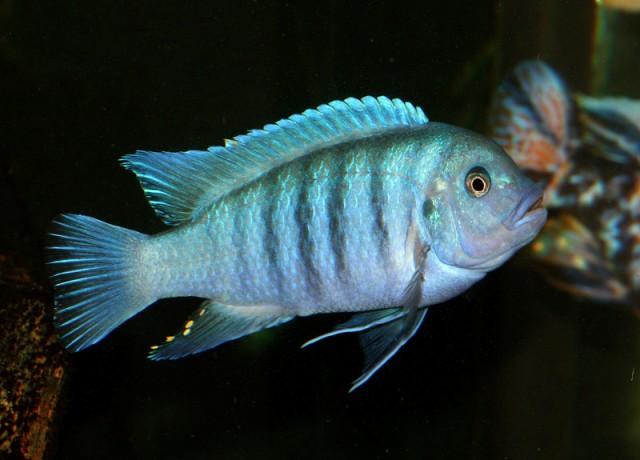 Hình ảnh cá ali Ngựa Vằn Malawi
