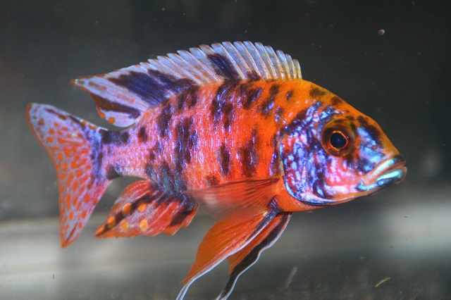Hình ảnh cá OB peacock
