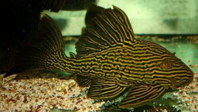 Hình ảnh cá Tỳ Bà Hoàng Gia