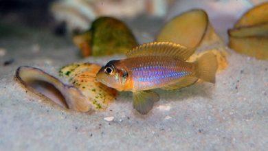 Photo of Cá Ali Vỏ Ốc – Gold Ocellatus Cichlid – Lamprologus ocellatus