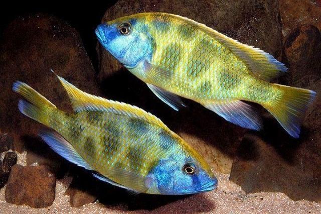 Hình ảnh Haplochromis cichlids