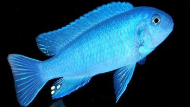 Photo of Sự khác nhau giữa các loại cá ali hồ Malawi: Mbuna – Aulonocara – Haplochromis