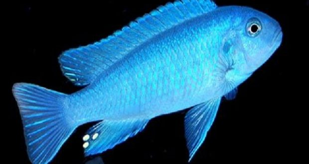 Hình ảnh cá Mbuna Cichlid