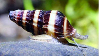 Hình ảnh Ốc ăn ốc Helena