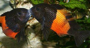 Hình ảnh cá ali Tropheus Bemba Orange