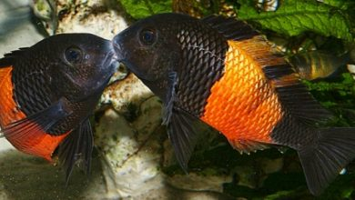 Photo of Cá Ali Tropheus Bemba – Tropheus Bemba Orange – Tropheus sp.Bemba