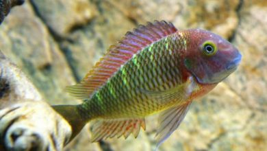 Photo of Cá ali Tropheus Cầu Vồng – Tropheus Moorii Red Rainbow – Tropheus sp. Kasanga